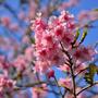 櫻 花鳥森林
