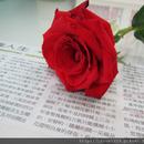 玫瑰小丸子 圖像