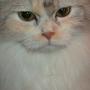 三色波斯貓