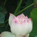 荷塘詩韻 圖像